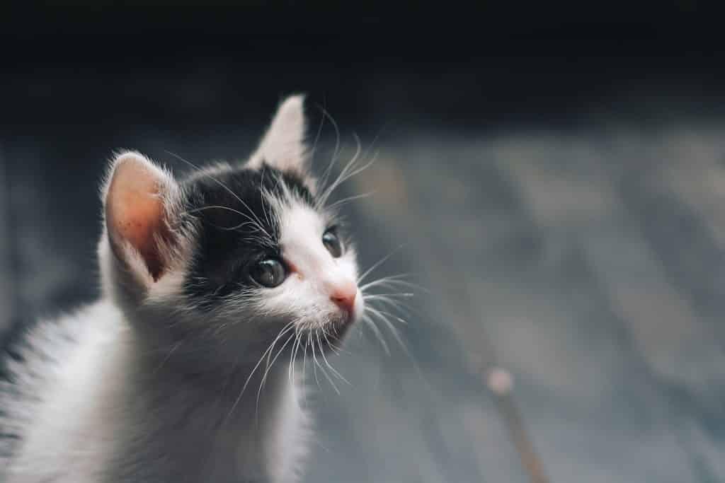 Um gato filhote