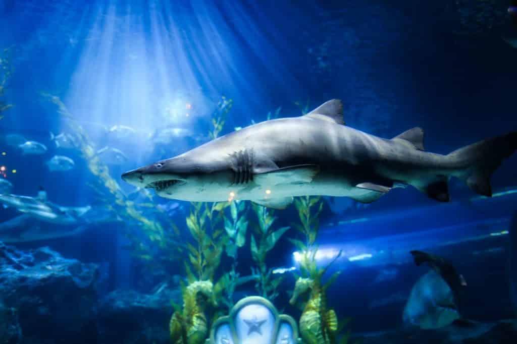 Tubarão nadando no mar.