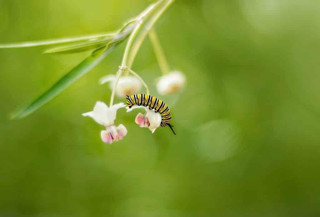 Uma lagarta, em um estágio que antecede à sua transformação em casulo e borboleta, pendurada em uma folha de planta.