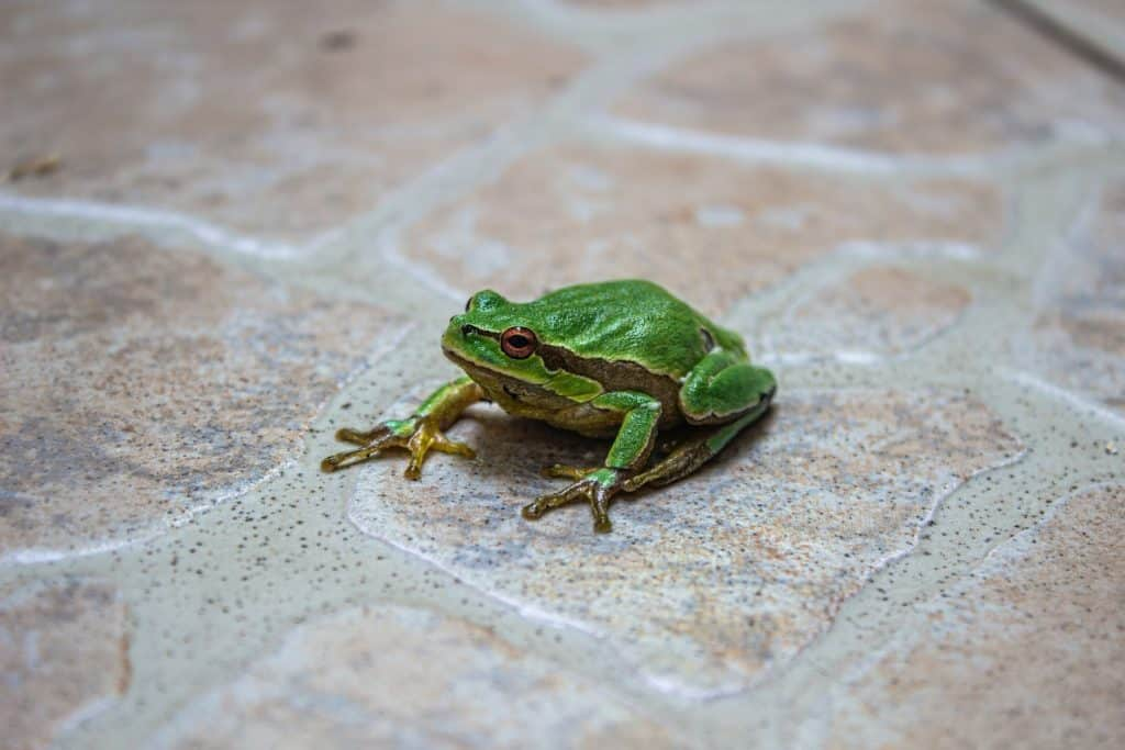 Um pequeno sapo verde sobre um piso.