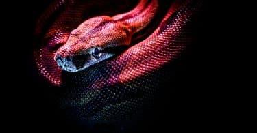 Imagem aproximada de uma cobra vermelha